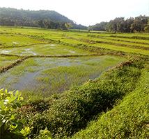 ricepaddies cropped